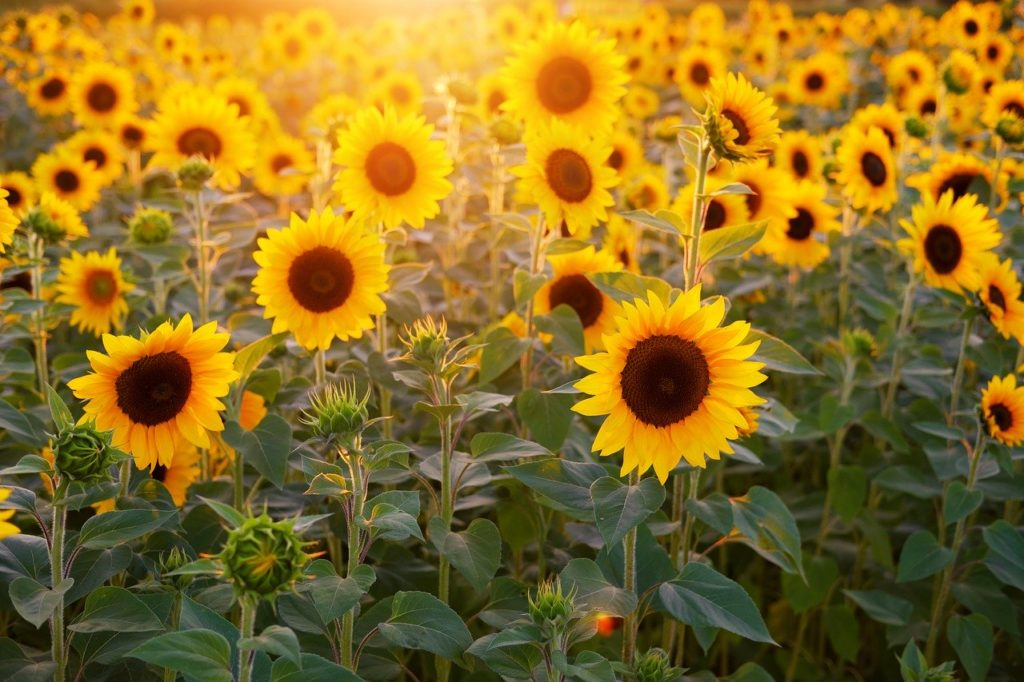 sunflower, sunflower field, flowers